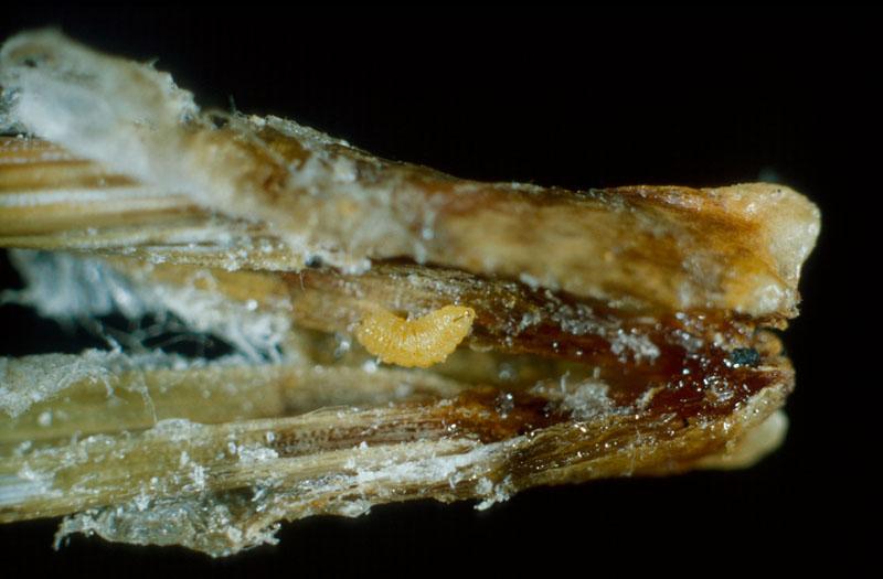 Contarinia baeri (Prell)
