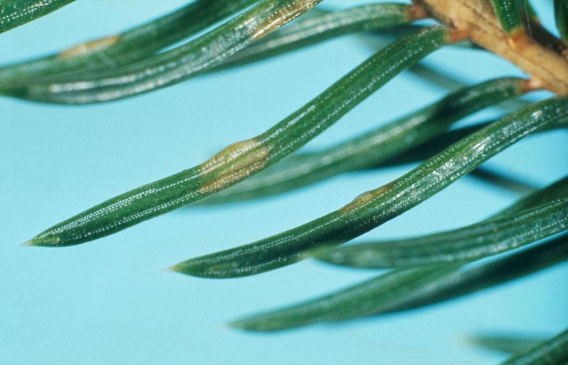 Gilpinia hercyniae (Hartig)