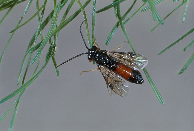 Pristiphora erichsonii (Hartig)