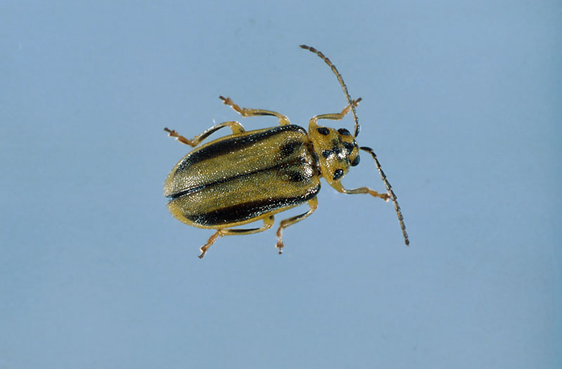 Xanthogaleruca luteola (Müller)