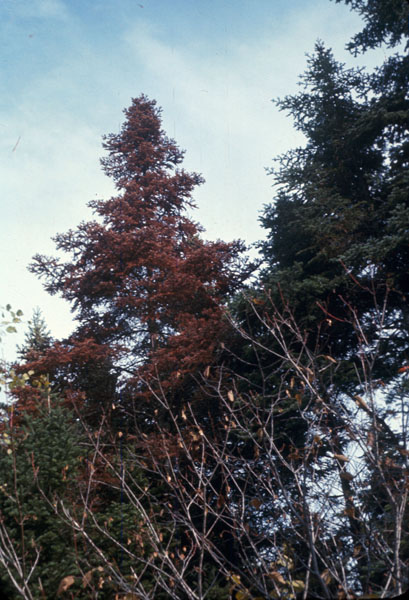 Adelges piceae (Ratzeburg)
