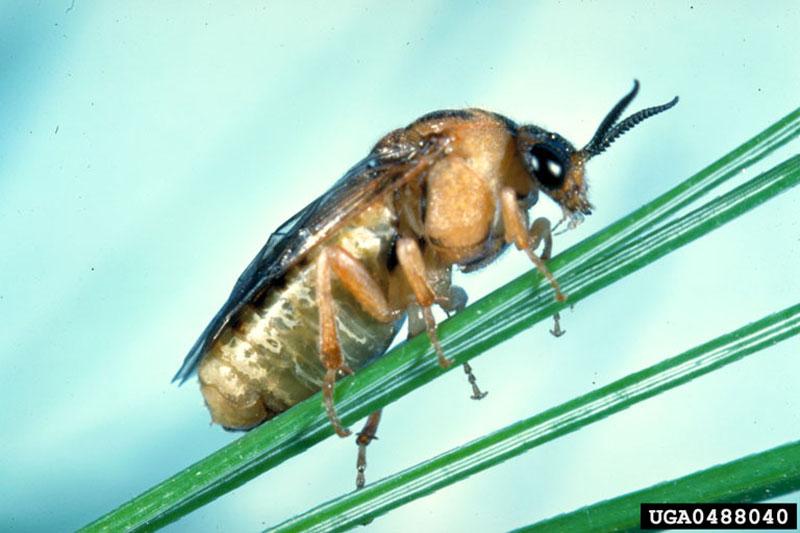 Diprion similis (Hartig)