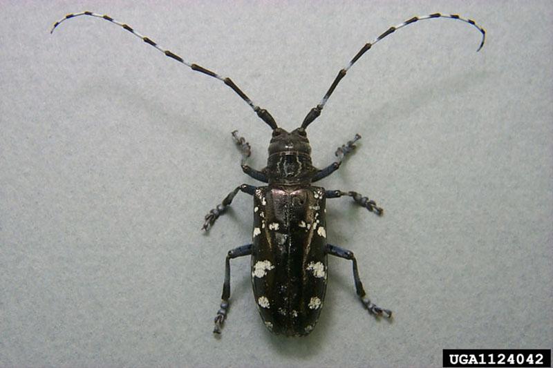 Anoplophora glabripennis (Motschulsky)