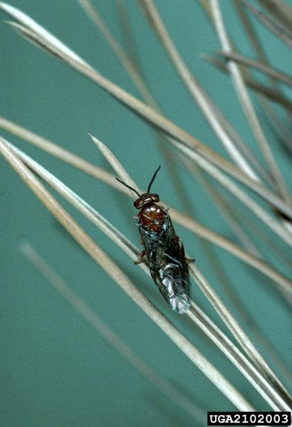 Neodiprion sertifer (Geoffroy)