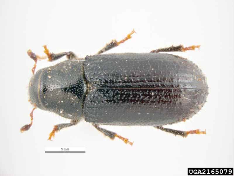Tomicus piniperda (L.)