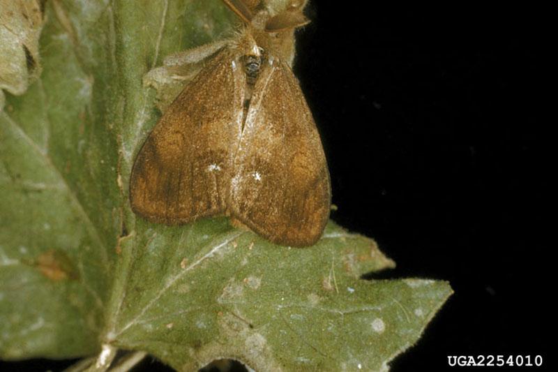 Orgyia antiqua (L.)