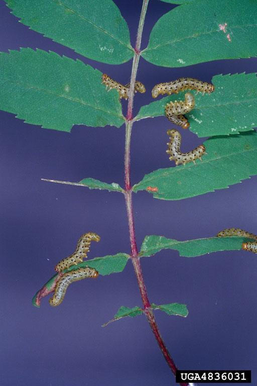 Pristiphora geniculata (Htg.)