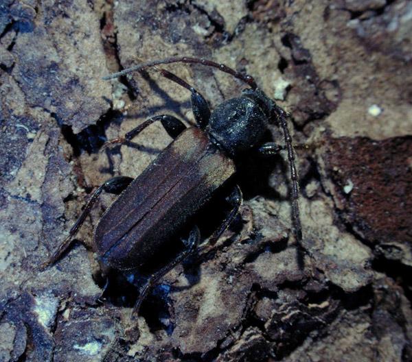 Tetropium fuscum (Fabricius)