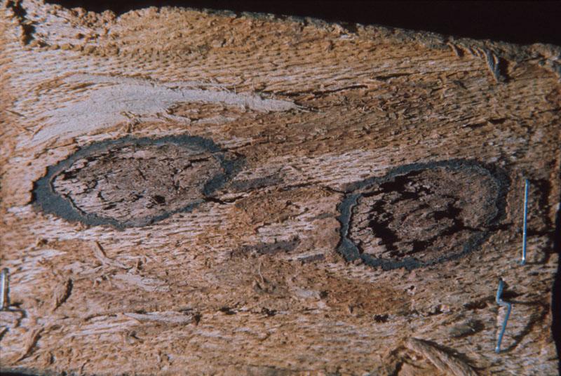 Neonectria faginata (Lohman et al.) Castl.