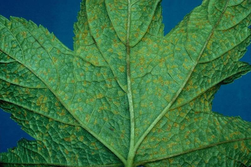 Cronartium ribicola J.C. Fisch.