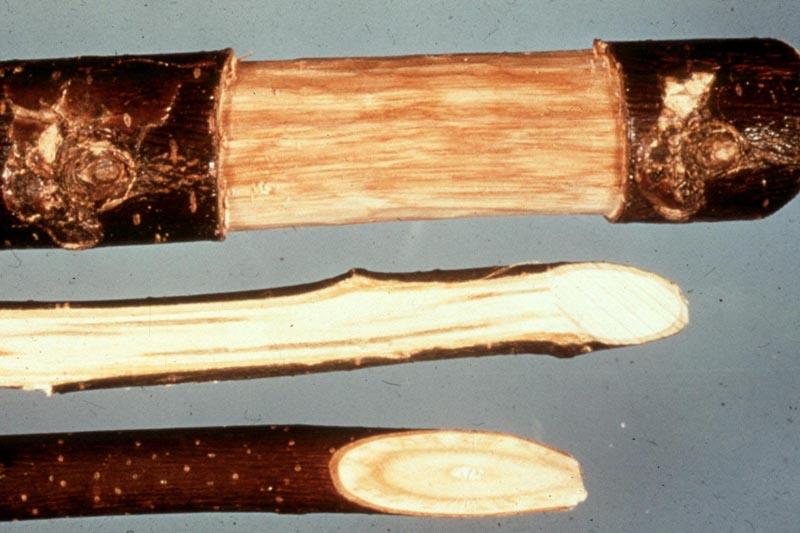 Ophiostoma ulmi (Buisman) Nannf.